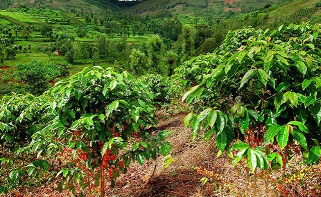 Kenyan Govt Goes All Out to Revive Ailing Coffee Industry