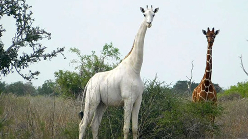 Rare white giraffes killed by poachers in Kenya