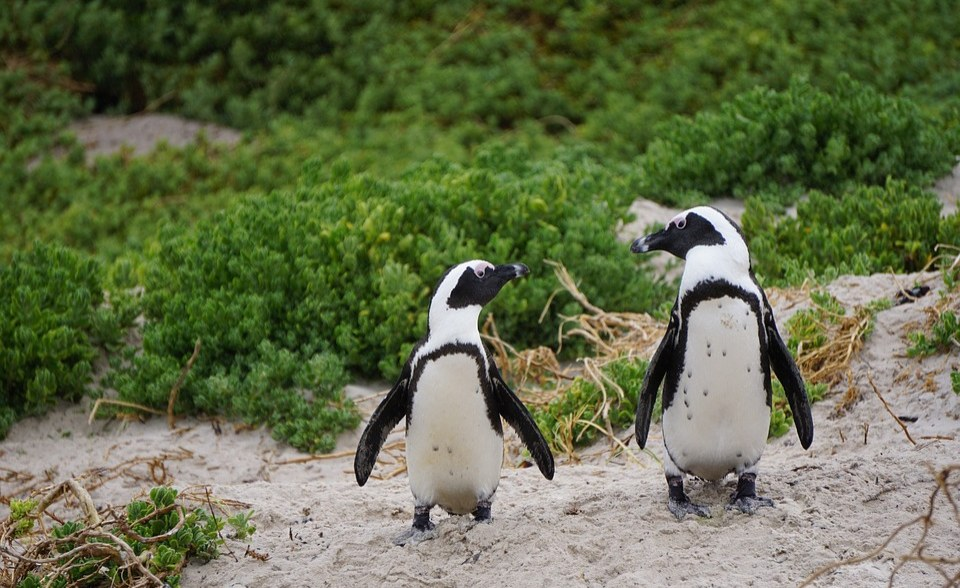 New Nests are Helping African Penguins Breed