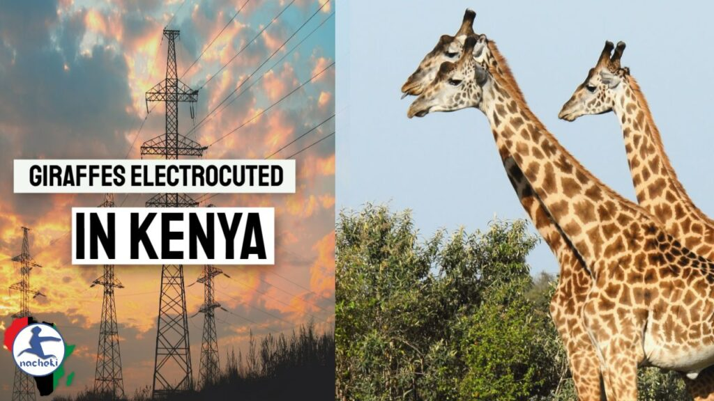 Outrage as Three Endangered Giraffes Electrocuted to Death in Kenya