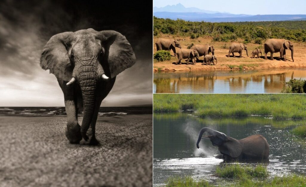 There's Lots More to Know About African Elephants Than You Think